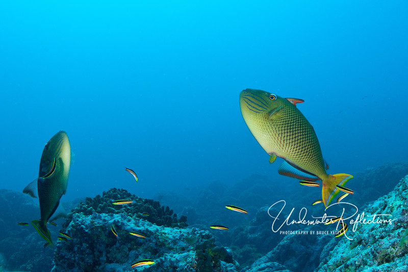 Two redtailed triggerfish hover at a cleaning station, where dozens of cleaner wrasses pick parasites off their bodies.