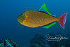 The redtailed triggerfish can display an astounding range of gorgeous colors, some seeming almost luminescent.