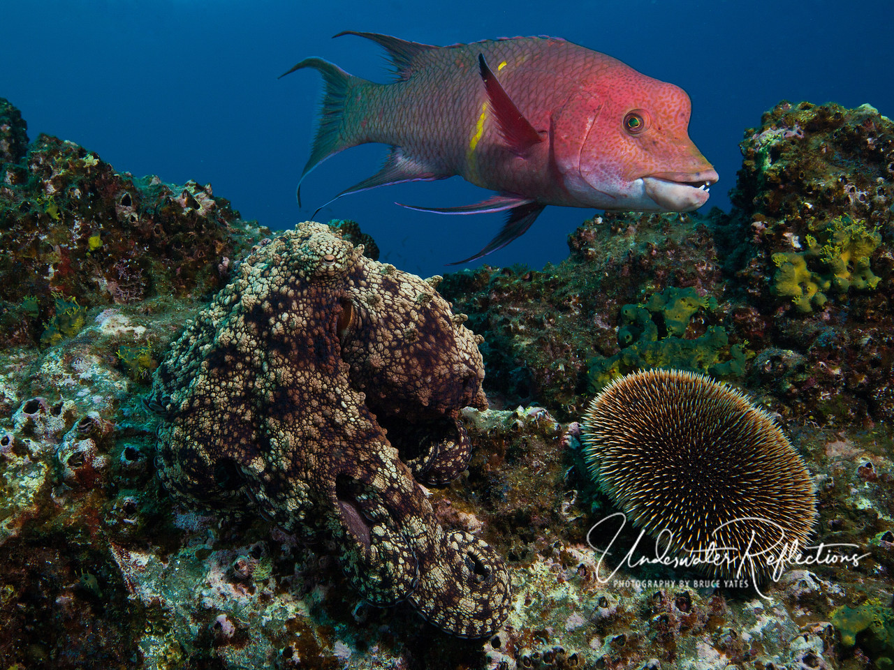 The colorful Long-fin Hogfish is eye-catching, but the real subject of this photo is the octopus below at left.  Octopuses are masters of camouflage, changing their color and texture to mimic their surroundings.