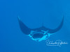 Feeding.  This manta's mouth is wide open to take in as much plankton as possible.