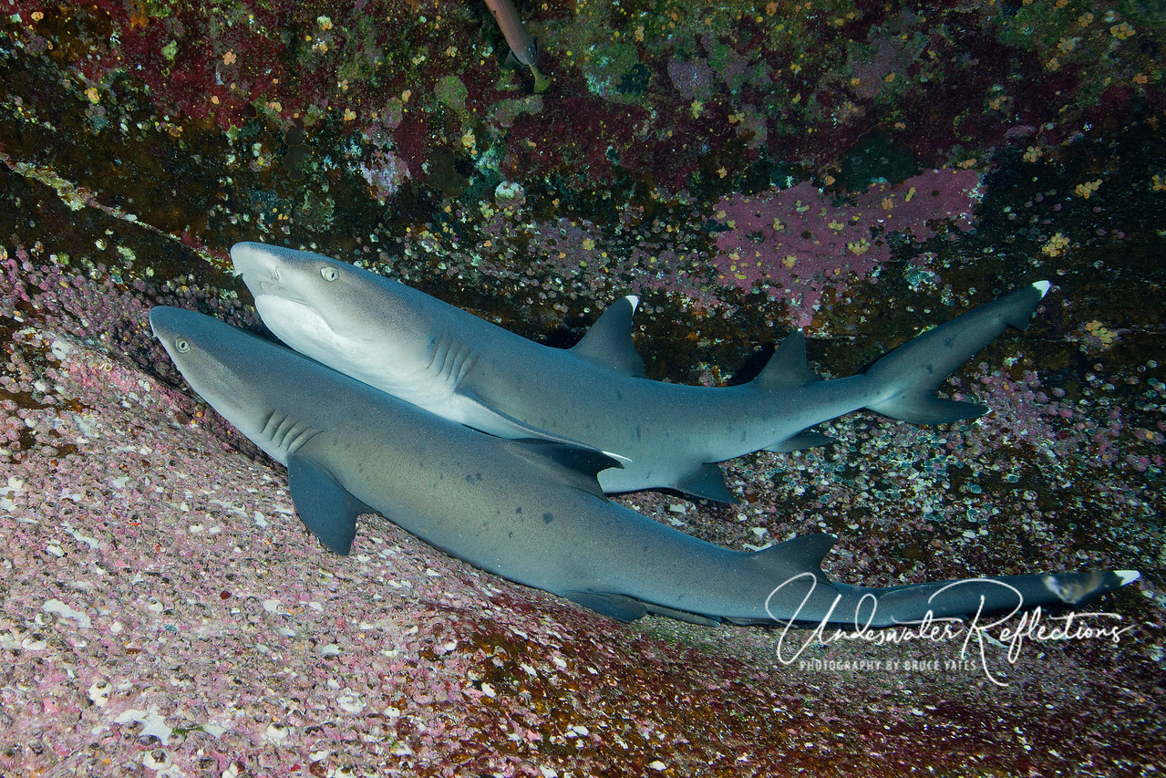Whitetip sharks lounge on ledges at Roca Partida.