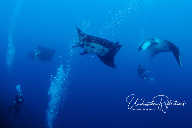 We had as many as five mantas at once cruising through our group.  Oddly, mantas are actually attracted by diver's bubbles, and seem to enjoy the feeling of bubbles on their undersides.
