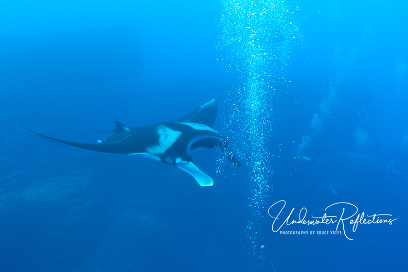 "The mantas often actually ""aimed"" at divers' bubble streams, swimming directly over and through them."