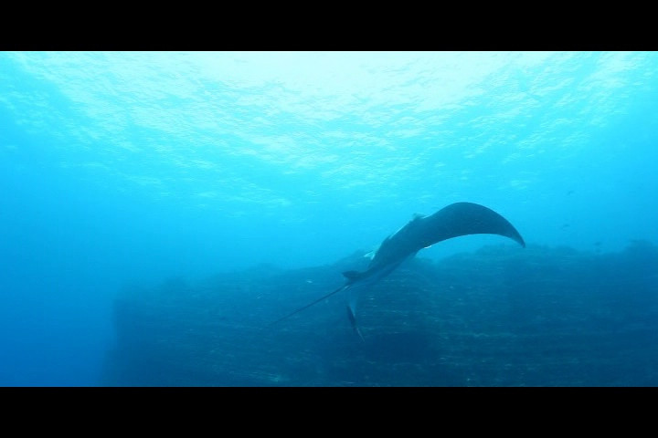 "Short video clip of a manta feeding on plankton.  Click on ""Mid Def"" at the top.  Notice that, as the manta dives, it opens its gills and mouth wide to take in the most plankton possible."