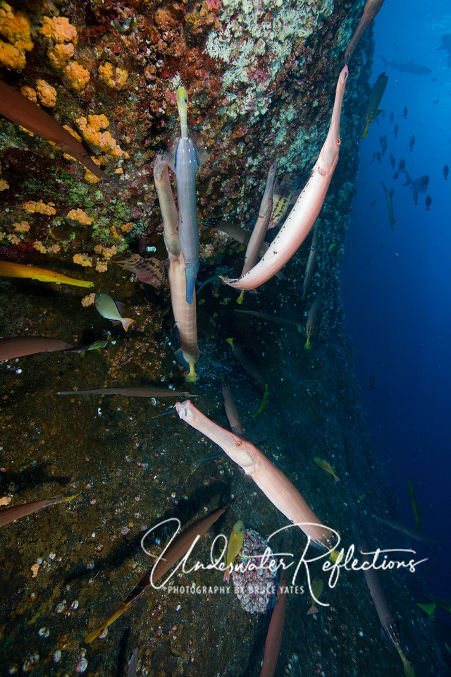 Trumpetfishes, usually solitary, gathered togethered in dozens at Roca Partida.