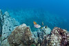 """This photo highlights the unusual rocky topography underwater in the Revillagigedos.  In the foreground, several redtailed triggerfish hover at a """"cleaning station,"""" where small cleaner wrasses pick parasites off of them."""