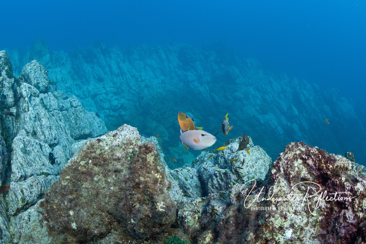 "This photo highlights the unusual rocky topography underwater in the Revillagigedos.  In the foreground, several redtailed triggerfish hover at a ""cleaning station,"" where small cleaner wrasses pick parasites off of them."