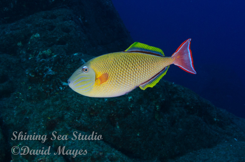 Redtail or Crosshatch Triggerfish