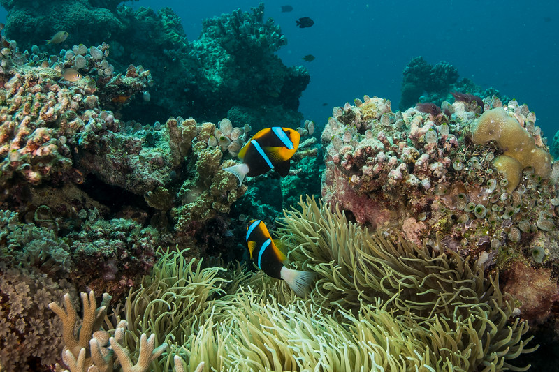 Orange-finned Anemonefish (Amphiprion chrysopterus),