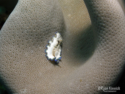 Small flatworm making its way over coral