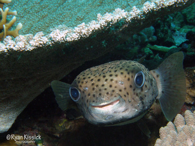 Close-up of a porcupinefish (type of pufferfish)