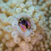 Coral Hermit Crab: Paguritta sp.