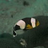 Saddleback Anemonefish (Amphiprion polymnus