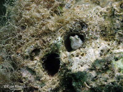 This strange fish is called a Freckle Faced Blenny
