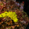 Banana Nudibranch (Aegires minor)