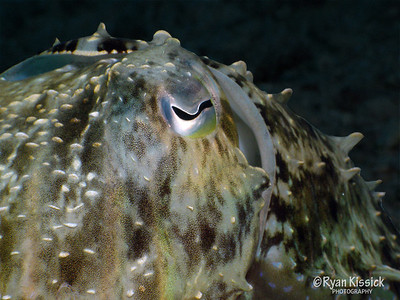 Close-up of cuttlefish face