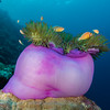 Pink Anemonefish (Anphiprion perideraion)