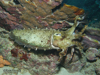 Cuttlefish displaying its tentacles in a threatening gesture