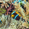 Orange-finned Anemonefish (Amphiprion chrysopterus)