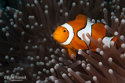 False clown anemonefish (Nemo) in the comfort of its anemone