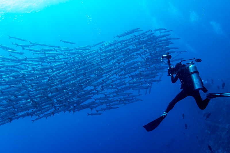 Blackfin Barracuda: Sphyraena qenie