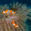 False Clown Anemonefish (Amphiprion oceallaris)