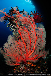 A gorgonian sea fan and attached crinoids in shallow water. Raja Ampat, Indonesia