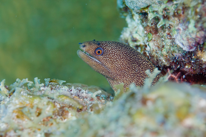 Goldentail Moray