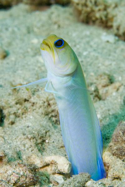 Yellowhead jawfish