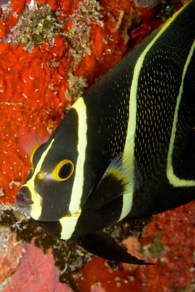 French angelfish, juvenile