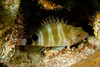Redspotted hawkfish