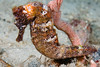 Wounded Longsnout seahorse