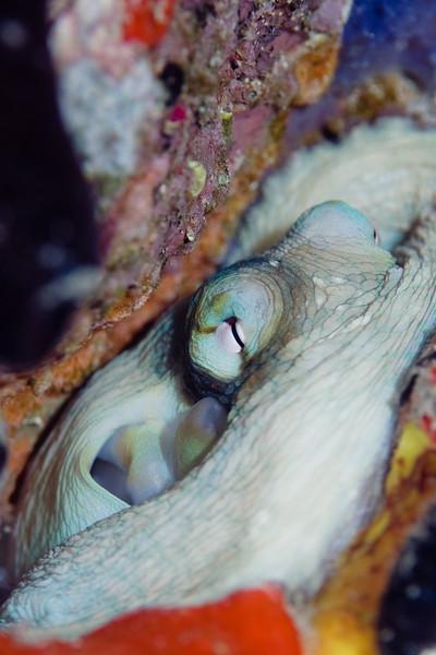 Common Octopus tucked away.