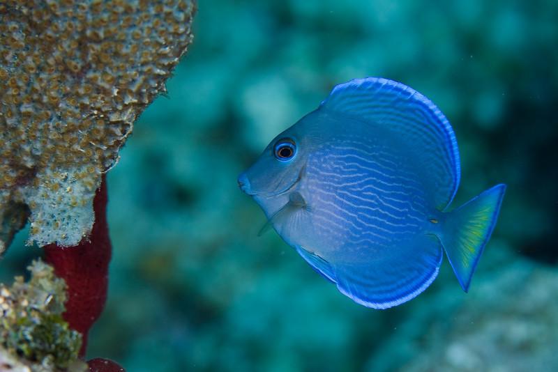 Blue Tang, juvenile
