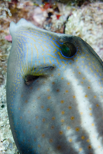 Orangespotted Filefish