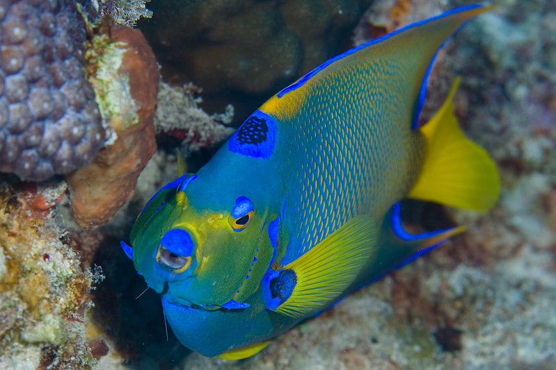 Queen Angelfish with just the wisp of the tentacles of a Pederson Cleaner Shrimp visible from the right gills.