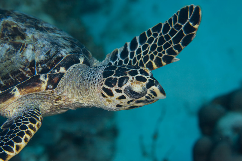 Hawksbill trutle distinguished by two pairs of plates between the eyes (green turtles have one).