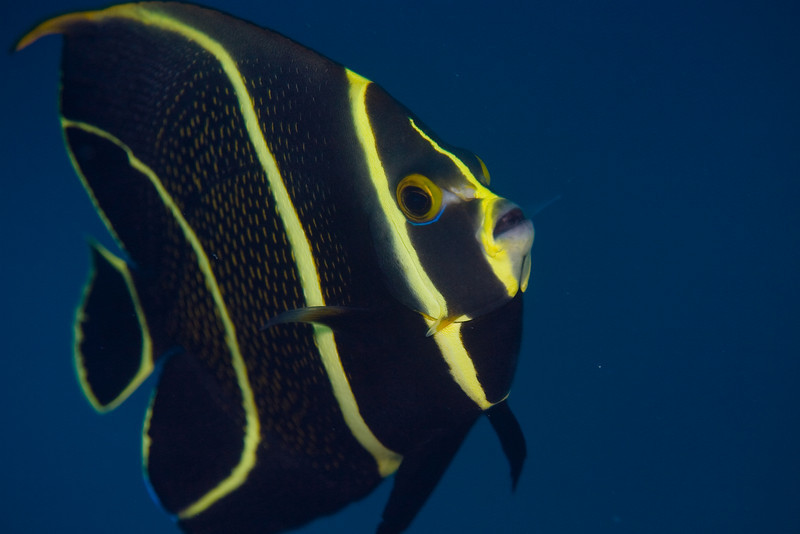French Angelfish, juvenile