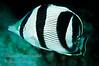 Banded Butterrflyfish<br /> Chaetodon striatus