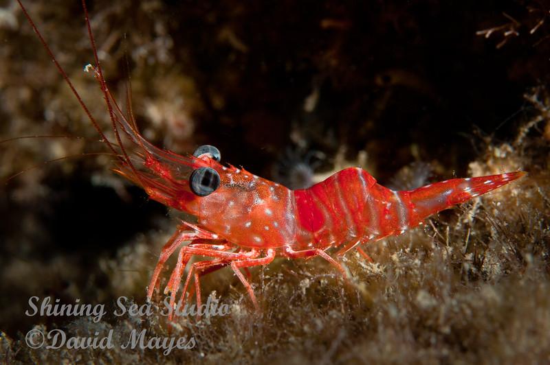 Red Night Shrimp
