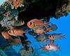 Blackbar Soldierfish 1