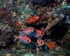 Blackbar Soldierfish 2