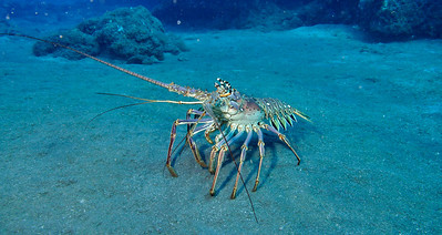 This Lobster was at least 3 feet long.  We watched him come out from under some rocks and walk across the sand to the other outcropping of coral.  He was definitely not shy.