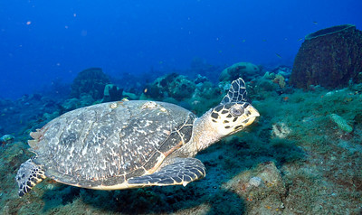 This Hawskbill Turtle was scrounging for food.  He was all over the reef.  Hawksbill turtles are endangered.