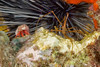 Red Reef Crab and Golden Arrow Crab