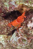 Flaming Reef Lobster, juvenile