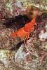 Flaming Reef Lobster, juvenile