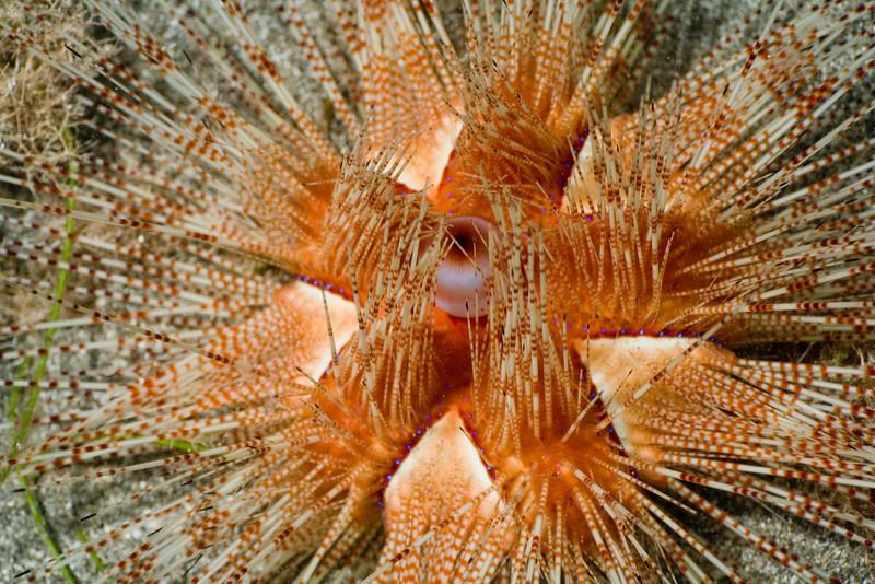 Magnificent Urchin