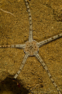 Brittle Star - Sund Rock near Hoodsport, Washington