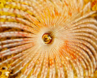 Tubeworm - Sund Rock near Hoodsport, Washington